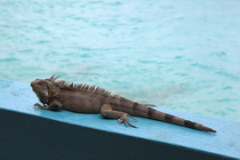 Iguana at Bonaire