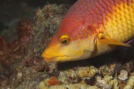 Spanish hogfish.